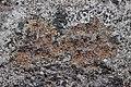 Lichen (27066767798).jpg