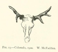 Life Histories of Northern Mammals (1909) Cervus canadensis abnormal antlers 4.png