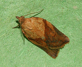 Light Brown Apple Moth - Epiphyas postvittana.jpg