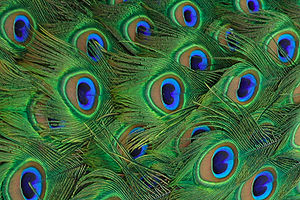 Closeup of an Indian Blue Peacock's tail feathers