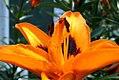 Lilium Loreto 0zz.jpg