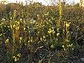 Linaria vulgaris (s. str.) sl5.jpg