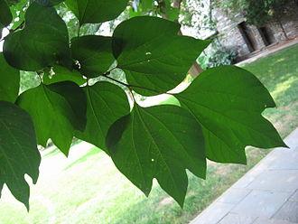 Lindera obtusiloba - Image: Lindera Obtusiloba Leaf