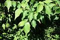 Lindera praecox - Arnold Arboretum - DSC06760.JPG