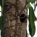 Lineated Woodpecker (juvenile) (5614387499).jpg