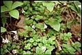 Linnaea borealis 1-eheep (5097879566).jpg