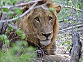 Lion (Panthera leo) (11755092044).jpg