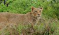 Lion (Panthera leo) (6012220688).jpg