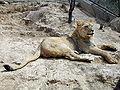 Lion at beijing 1.jpg