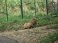 Lion from Bannerghatta National Park 8476.JPG
