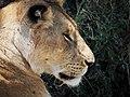 Lions @ Maasai Mara (20630348938).jpg