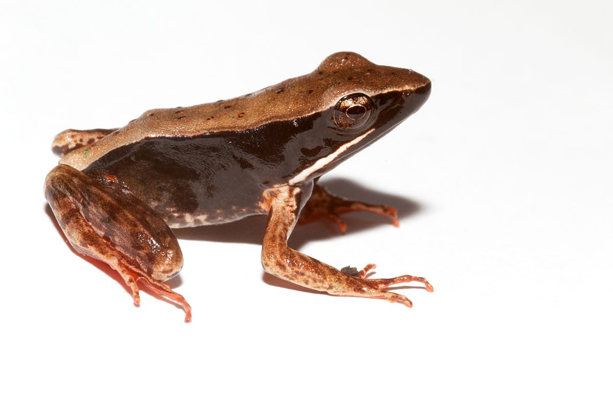 Warszewitsch's frog - ...