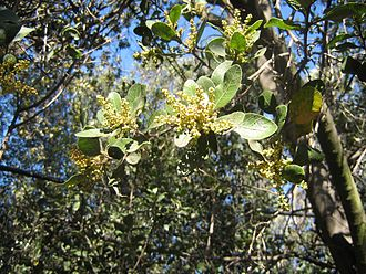 Lithraea caustica - Image: Lithrea caustica