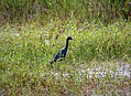 Little Blue Heron Egretta caerulea - Flickr - gailhampshire.jpg