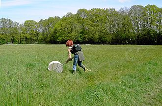 Insect collecting - Sweep netting for grassland insects