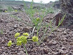 240px lomatium bicolor var. leptocarpum