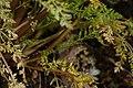 Lomatium hallii 4921.JPG