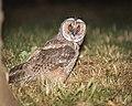 Long-eared owl (44077464724).jpg