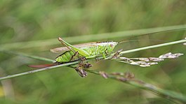 Long-winged Conehead Conocephalus discolor (9878193476).jpg