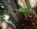Long tailed parakeet (Psittacula longicauda).jpg