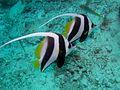 Longfin Bannerfish (5446908343).jpg