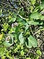 Lonicera caprifolium sl13.jpg