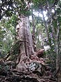 Lophostemon confertus tree1.jpg