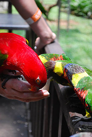 Kuala Lumpur Bird Park - Image: Lorikeets feeding Kuala Lumpur Bird Park 4a