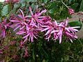 Loropetalum chinense var rubrum, blomme, Manie van der Schijff BT, a.jpg