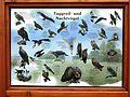 Lubmin Naturpfad-Walderkundungsweg Taggreif- und Nachtvögel.JPG