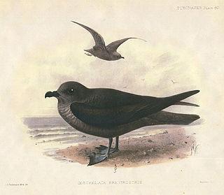 Kerguelen petrel species of bird