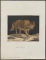 Lupus orientalis - 1700-1880 - Print - Iconographia Zoologica - Special Collections University of Amsterdam - UBA01 IZ22200361.tif