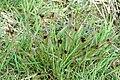 Luzula.campestris2.-.lindsey.jpg