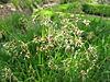 Luzula sylvatica flor