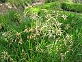 Luzula sylvatica flor.jpg