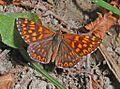 Lycaenidae - Riodininae - Hamearis lucina-1.JPG