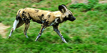 Lycaon pictus running - adjusted.jpg