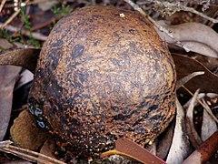 Lycoperdon foetidum.jpg