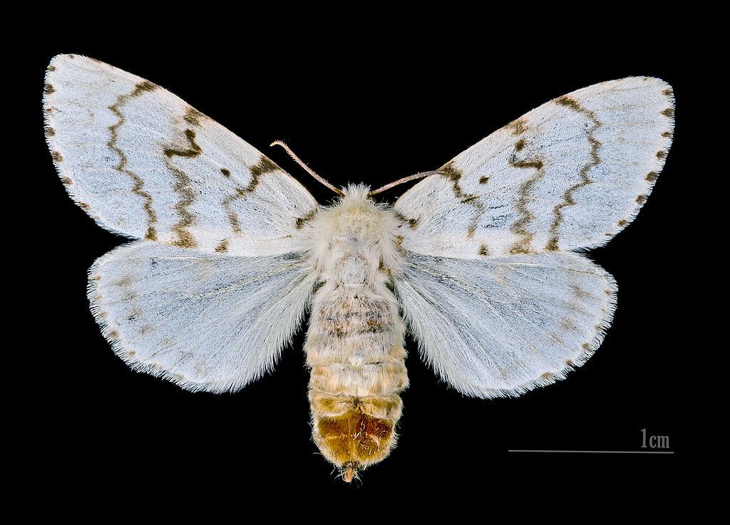 Mníška veľkohlavá (lat. Lymantria dispar) - samička