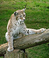 Lynx de Sibérie Thoiry 1982.jpg