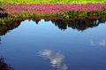 Lythrum salicaria, water reflection, Concord, Massachusetts 2.jpg