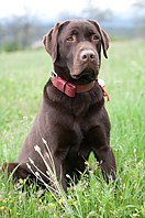 labrador retriever with a brown coat.