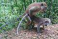 Macaca fascicularis (Cercopithecidae) (Crab-eating Macaque), Khao Sok NP, Thailand.jpg