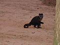 Macaco prego Manduri 060811 REFON 5.JPG