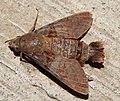 Macroglossum moth.jpg