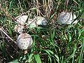 Macrolepiota procera-group-Ejdzej-2006.jpg