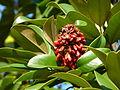 Magnolia grandiflora (9705035727).jpg