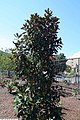 Magnolia grandiflora Kay Parris 1zz.jpg