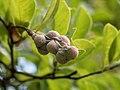 Magnolia seedpod in Bellevue Sobriety Garden (13516).jpg