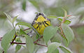 Magnolia warbler 3.jpg
